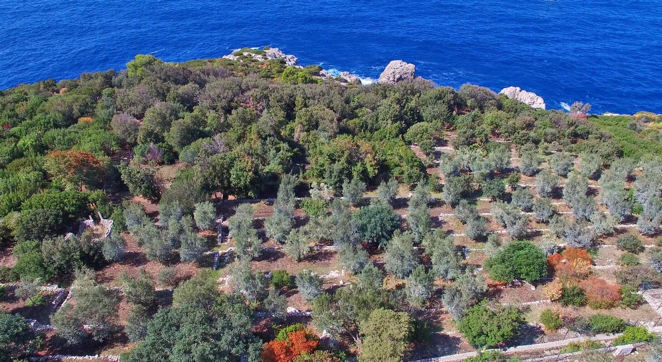 Sentiero Fortini Anacapri_coltivazioni ulivi_1